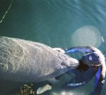 manatee florida swim