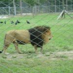 Lion Country Safari West Palm Beach Review