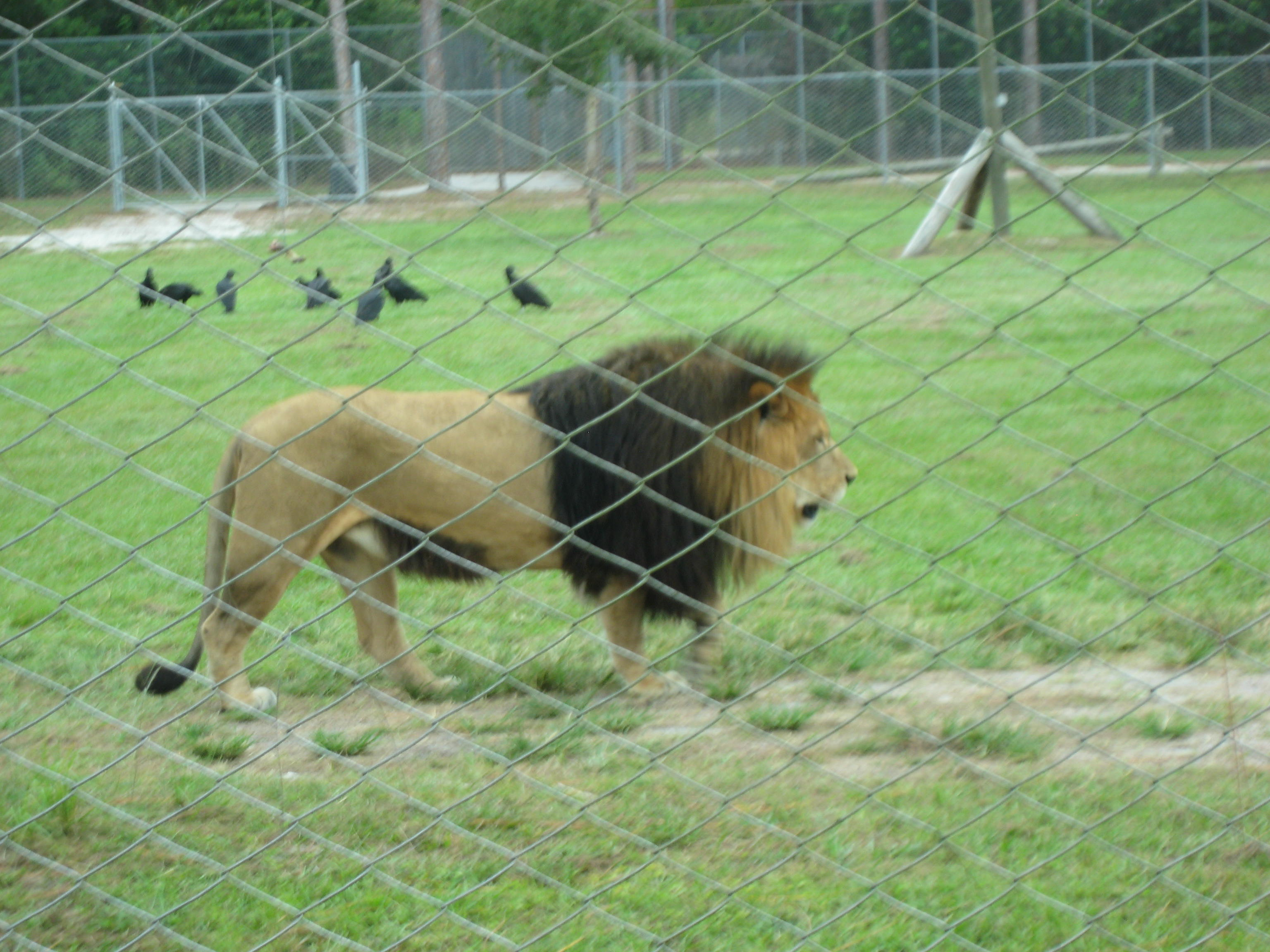Review of Lion Country Safari West Palm Beach FL Johnny - Your ...