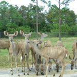 Impalas Lion Country Safari