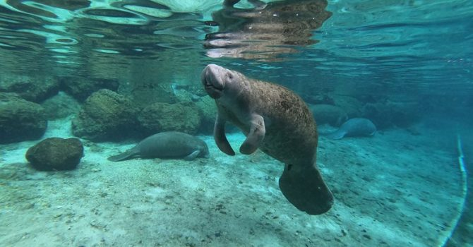 Manatees In Crystal River – You've Gotta See Them!!