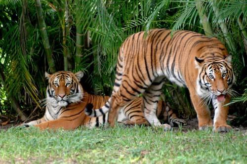 West-Palm-Zoo-Tigers