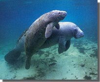 dive_manateepic