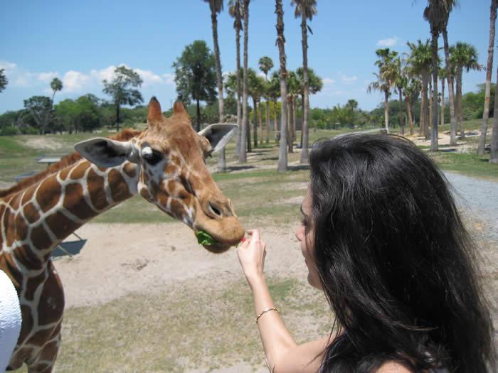 feed-giraffe-busch-gardens