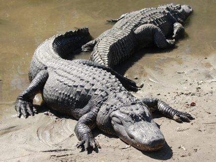 florida-alligator