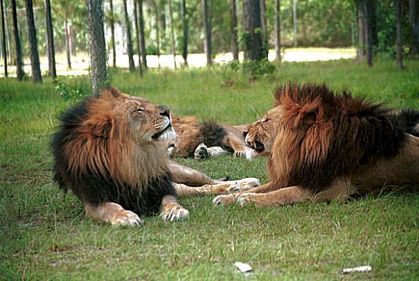 lion-singer-island