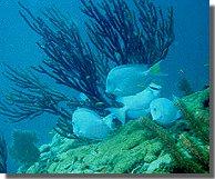 ocean_bluetang1
