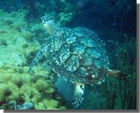 ocean_turtle1